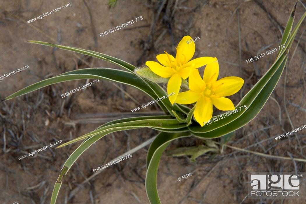 Stock Photo: Yellow Star-flower (Hypoxis iridifolia) flowering, Golden Gate Highlands N.P., Drakensberg Mountains, Free State, South Africa, November.