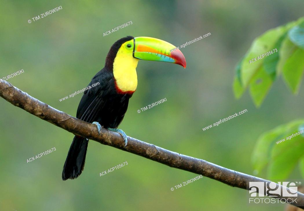 Stock Photo: Keel-billed Toucan (Ramphastos sulfuratus) - at Laguna Lagarto Lodge near Boca Tapada, Costa Rica.