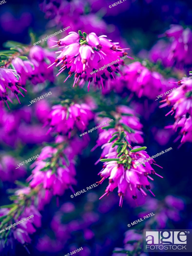 Imagen: Pretty pink flowers on heather Erica × darleyensis.
