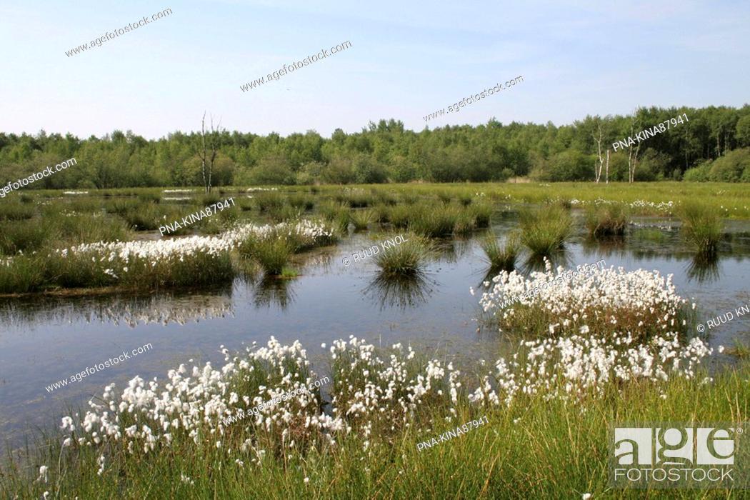 Stock Photo: Common Cottongrass Eriophorum angustifolium - Bargerveen, Emmen, Drenthe, The Netherlands, Holland, Europe.