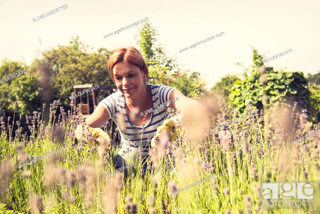 Stock Photo: Mature woman looking at lavender in garden.
