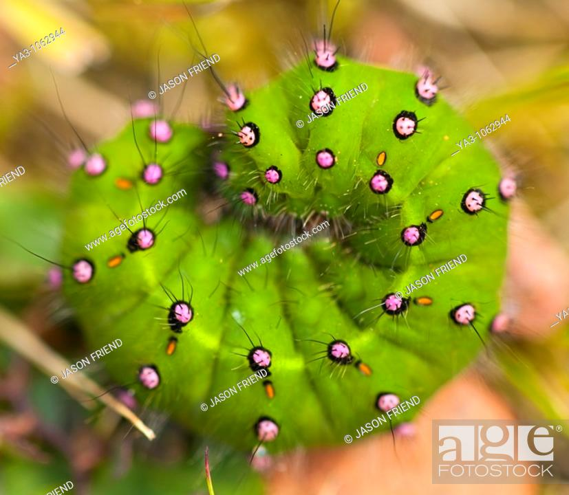 Stock Photo: England, Northumberland, Rothbury  Emperor moth Caterpillar Saturnia pavonia found in moorland near Rothbury.