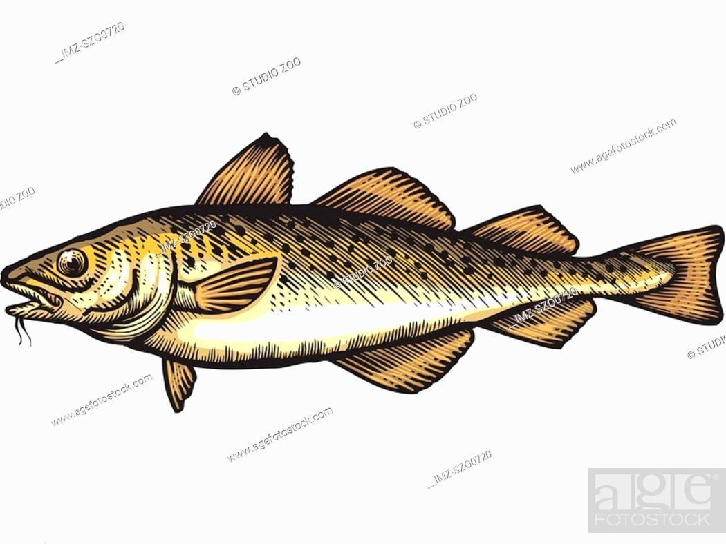 Stock Photo: A drawing of a cod.