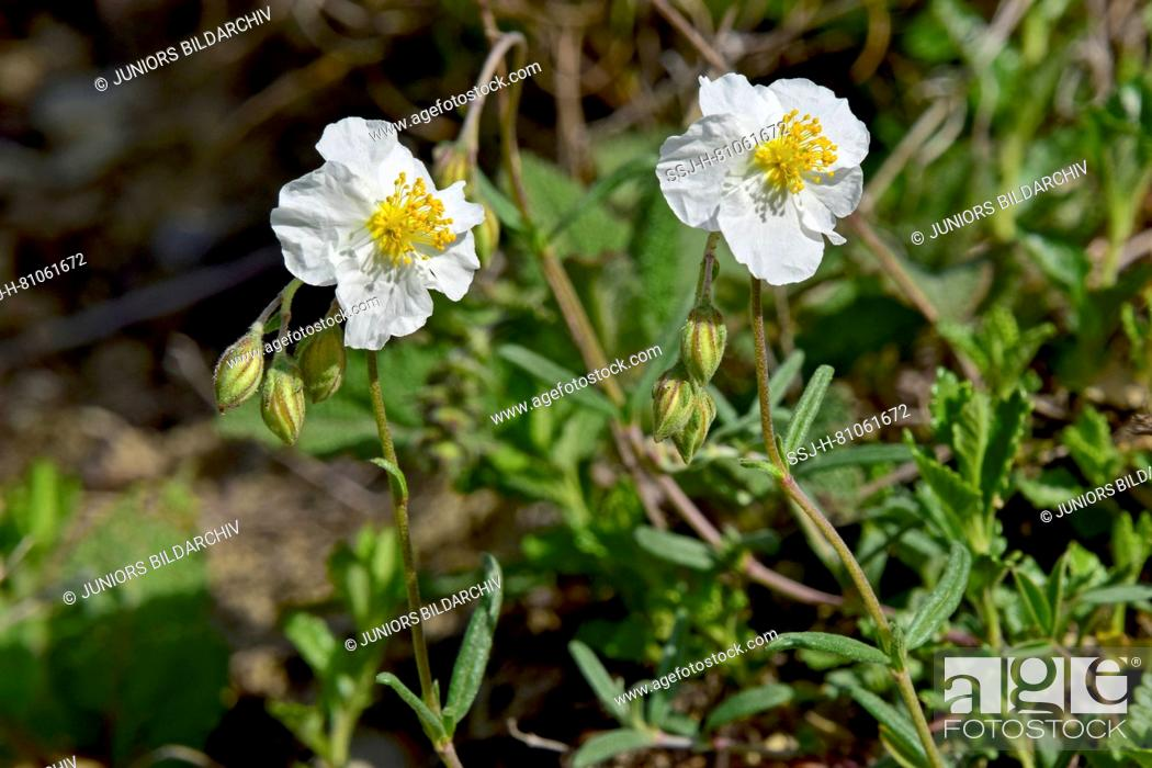 White rock rose helianthemum apenninum flowers stock photo white rock rose helianthemum apenninum flowers mightylinksfo