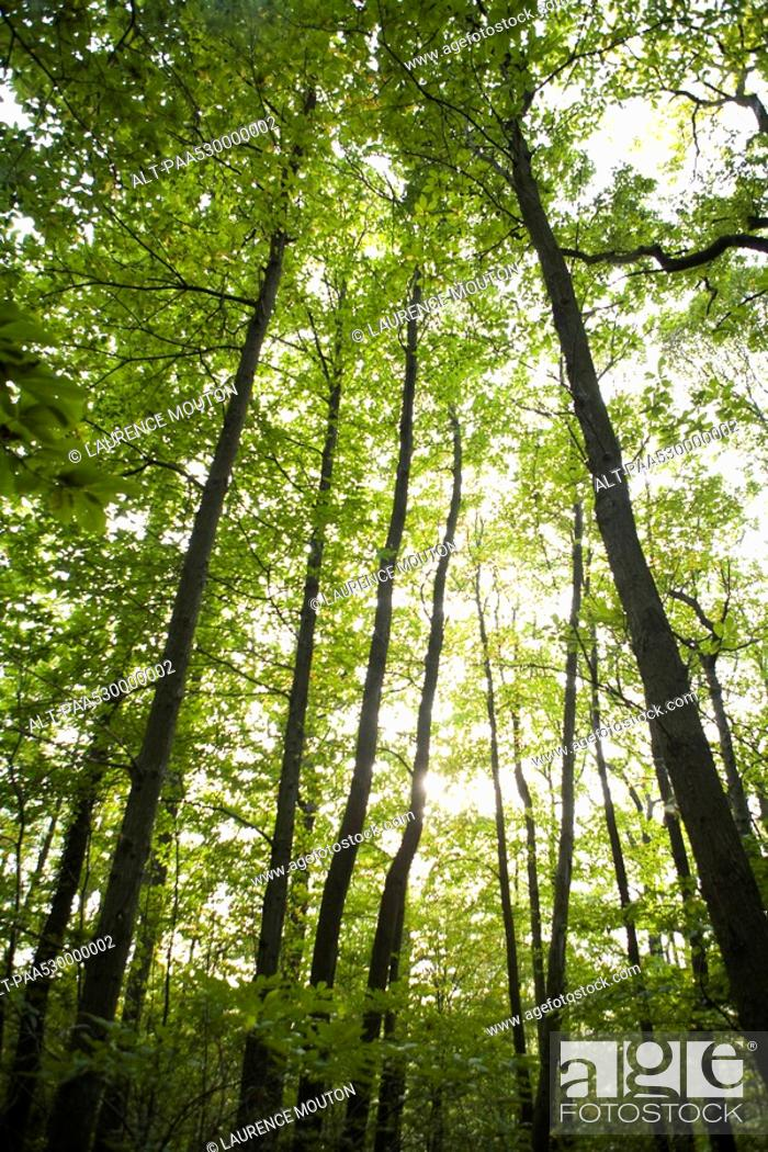 Stock Photo: Sunlight shining down through forest canopy, low angle view.