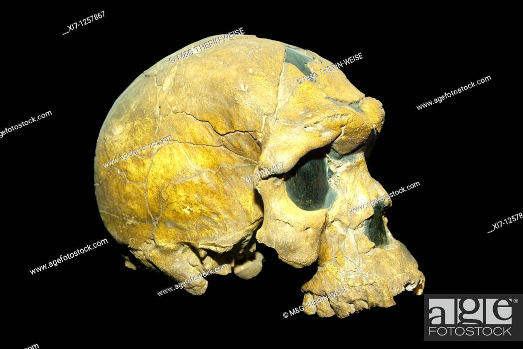 Stock Photo: Oldest known skull of an Homo Sapiens Fossil BOU-VP 16/1 Herto cranium, Addis Ababa National Museum, Ethiopia.