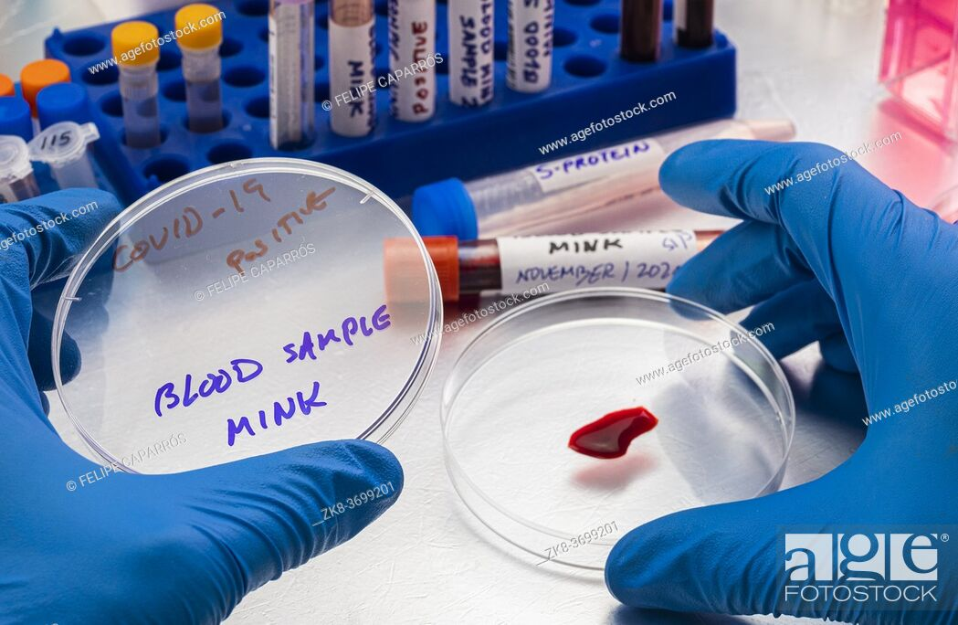 Stock Photo: mink blood sample on a petri dish in a laboratory, study of covid-19 infection in humans, conceptual image.