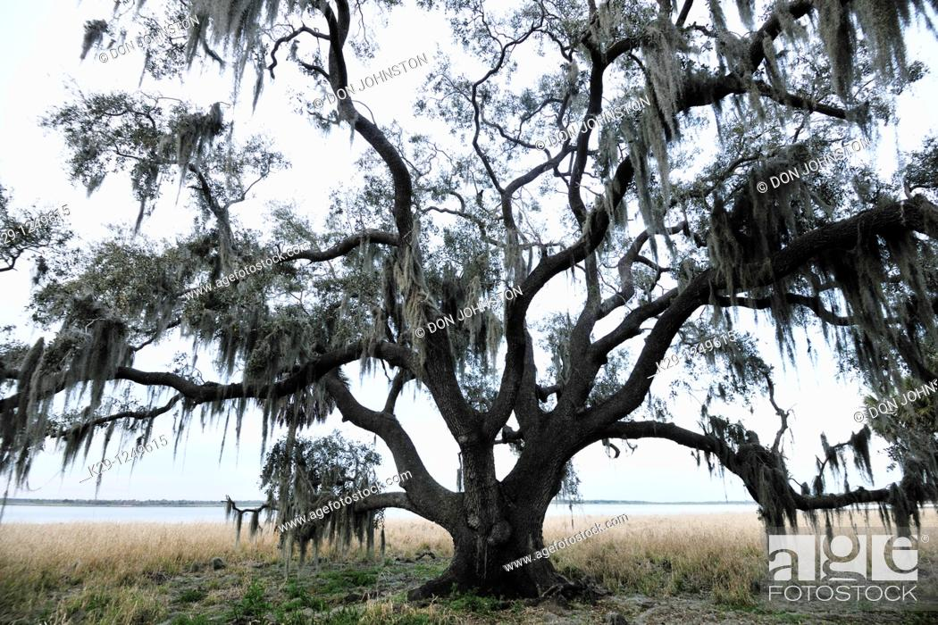 Stock Photo: Live oak trees and spanish moss.