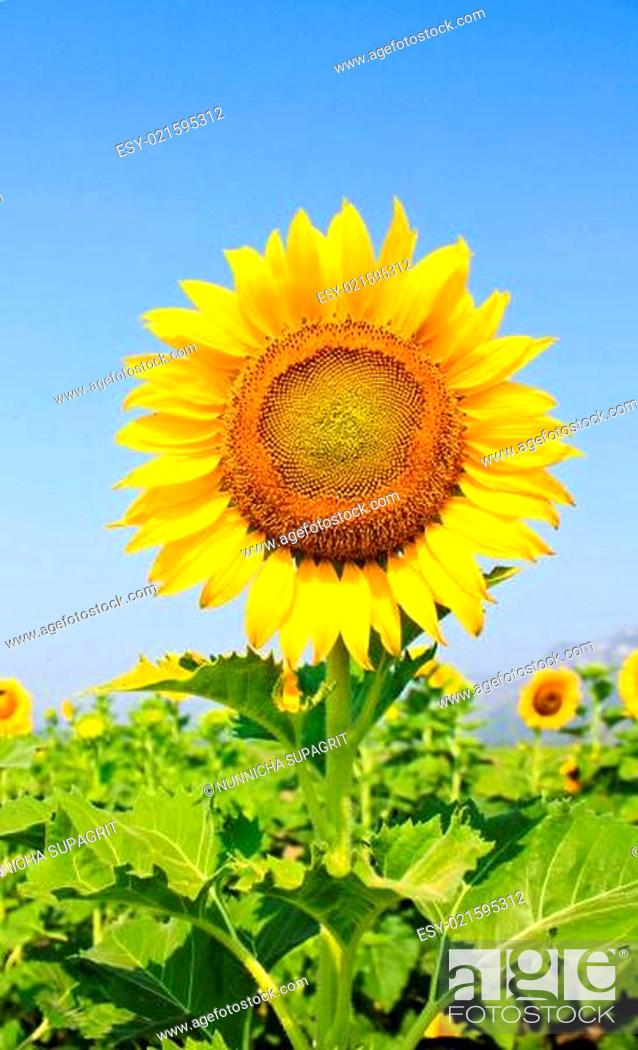Stock Photo: Beautiful sunflower with green leaves.