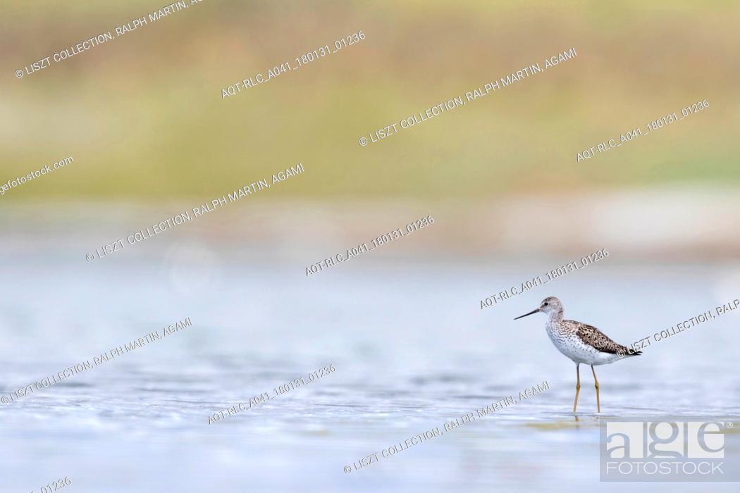 Stock Photo: Marsh Sandpiper, Tringa stagnatilis, Russia (Baikal), adult, breeding plumage.