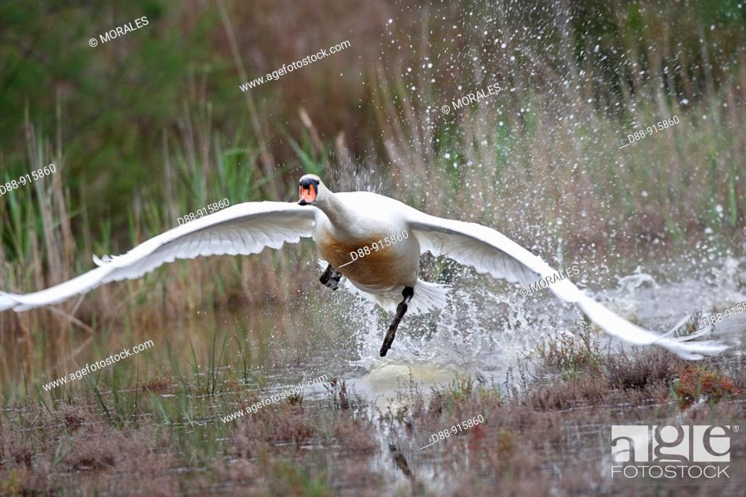 Stock Photo: Mute Swan (Cygnus olor).