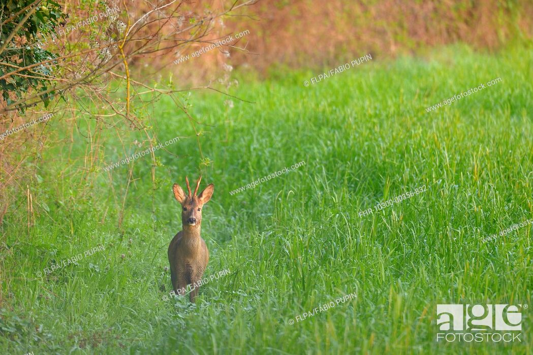 Stock Photo: Western Roe Deer (Capreolus capreolus) buck, standing in field at dawn, Italy, March.