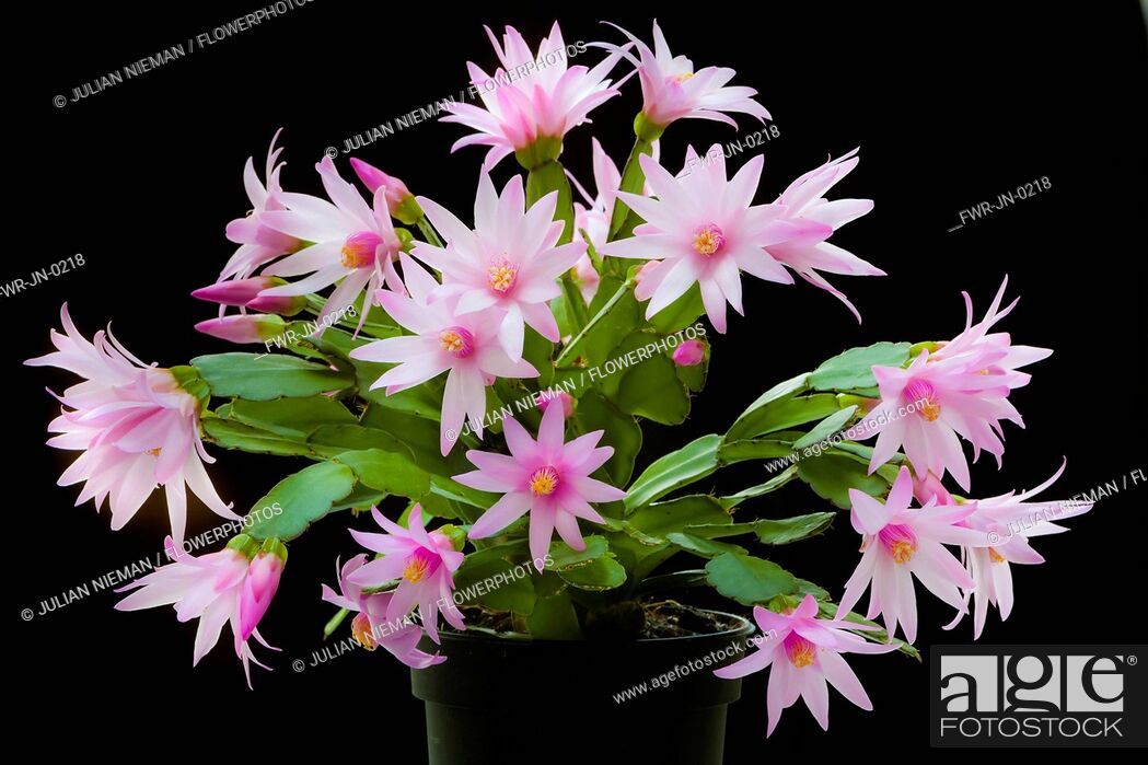 Imagen: Rose Easter cactus, Rhipsalidopsis rosea, A plant in a black pot, covered with pink flowers with unfurling, yellow tipped pink stamens and white stigma in the.