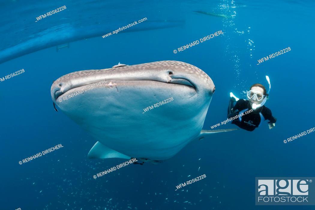 Stock Photo: Whale Shark and Freediver, Rhincodon typus, Cenderawasih Bay, West Papua, Indonesia.