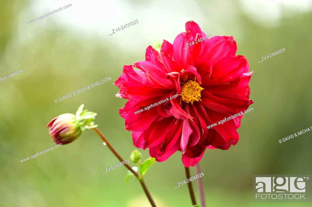 Stock Photo: Close-up of a red Dahlia blossom in a garden in summer.
