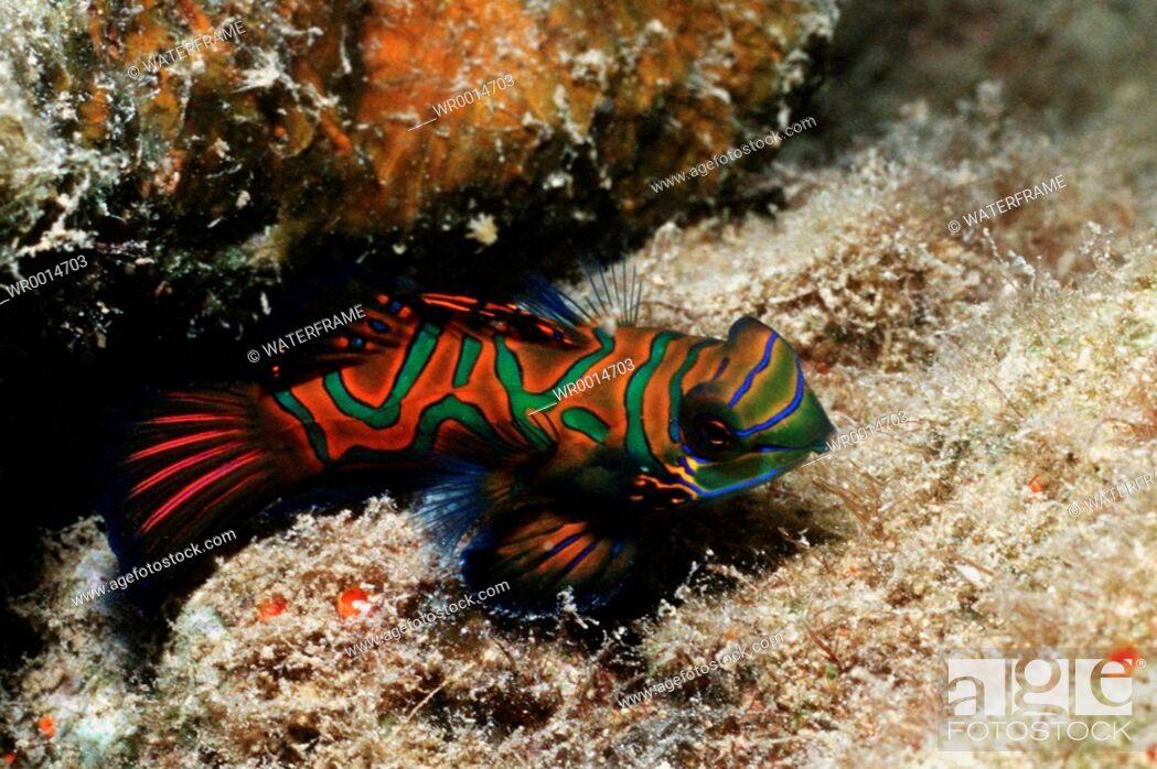 Imagen: Mandarinfish, Synchiropus splendidus, Pacific, Micronesia, Palau.