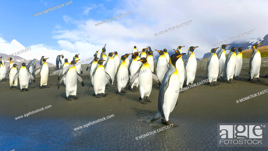 Imagen: King Penguins (Aptenodytes patagonicus) walking in groups along surf line near rookery, fall, St. Andrews Bay; Southern Ocean; Antarctic Convergance; South.