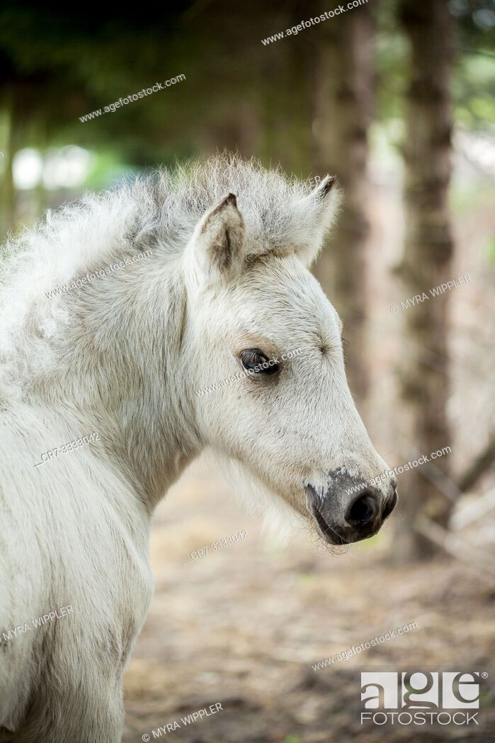Stock Photo: Young light colored icelandic horse foal posing for the camera.