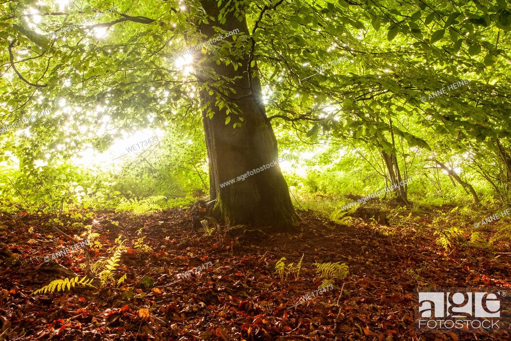 Stock Photo: Beech tree with rising sun backlighting leaves. Belecke, Arnsberger Wald, Sauerland, Germany.