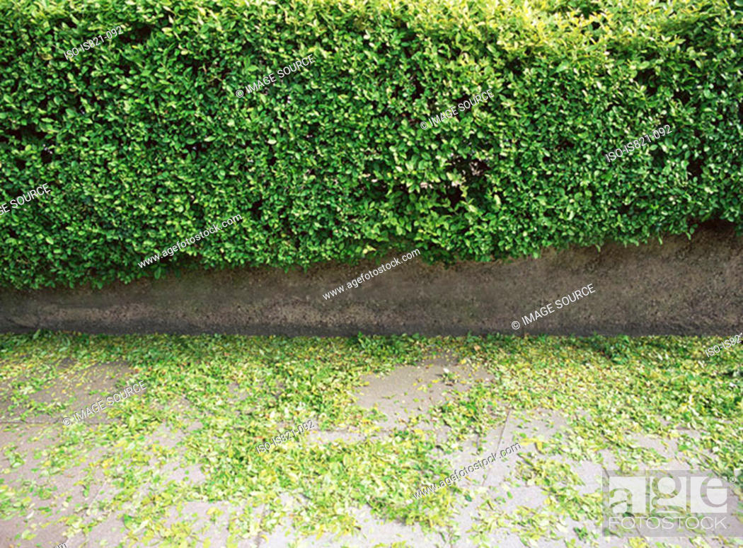 Stock Photo: Hedge trimmings.