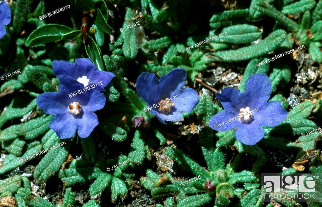Stock Photo: bugloss Anchusa cespitosa, blooming plant, Greece, Creta, Lefka Ori.