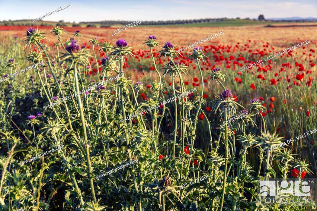Stock Photo: Silybum marianum in the fields, early in the morning. Pinto. Madrid. Spain. Europe.