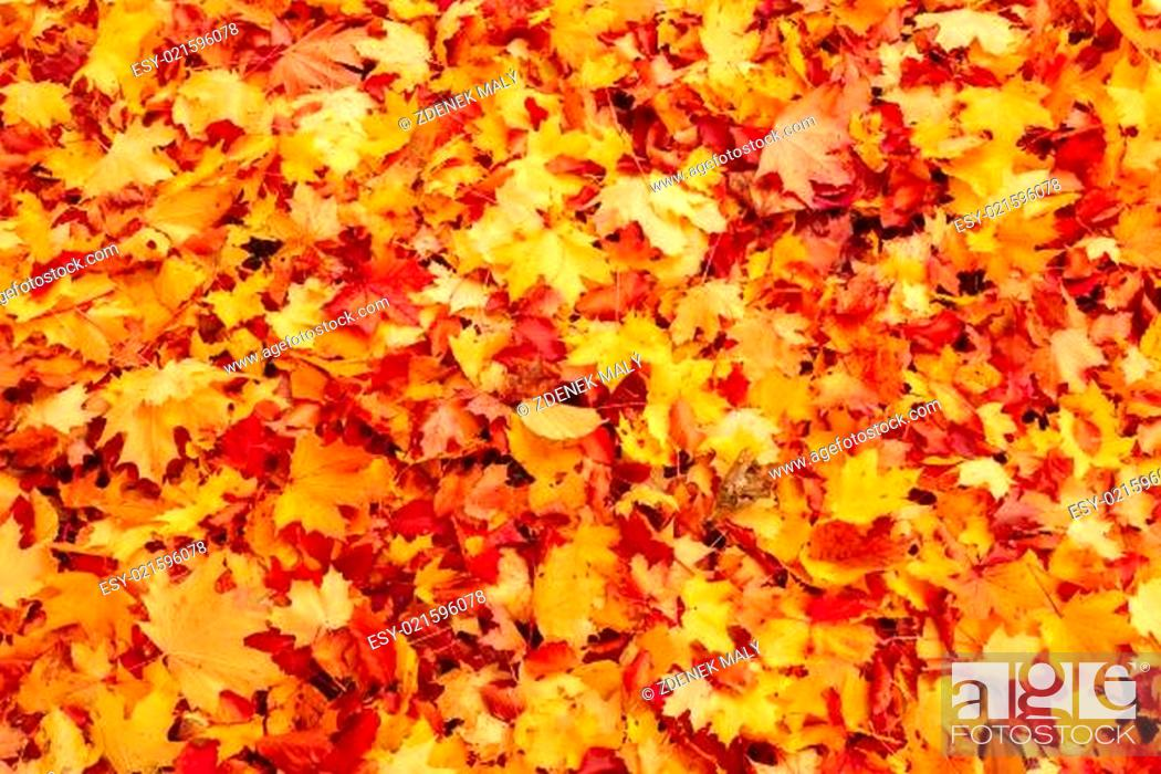 Photo de stock: Fall orange and red autumn leaves on ground.