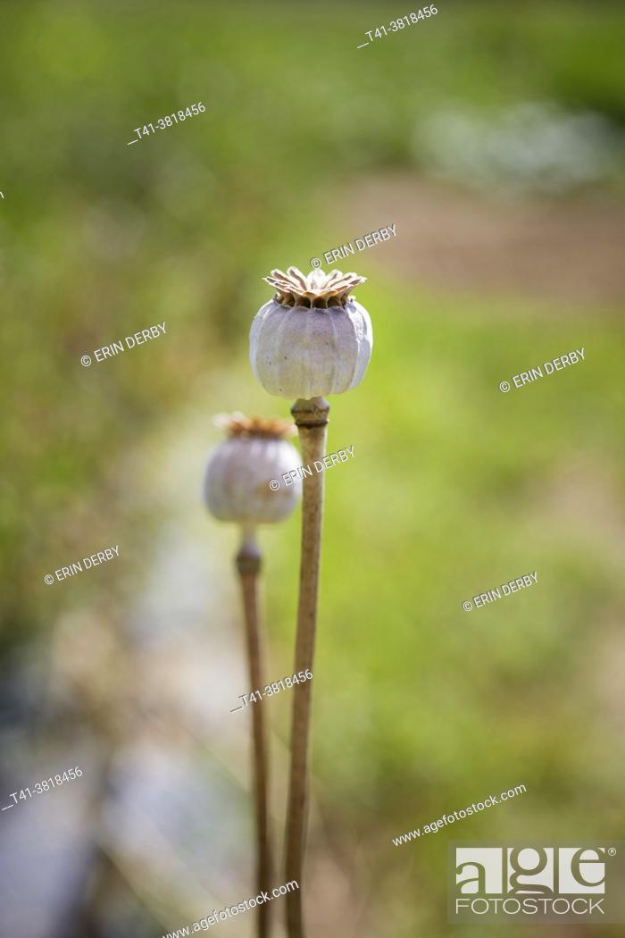Stock Photo: A pair of poppy seed pods in a green field.
