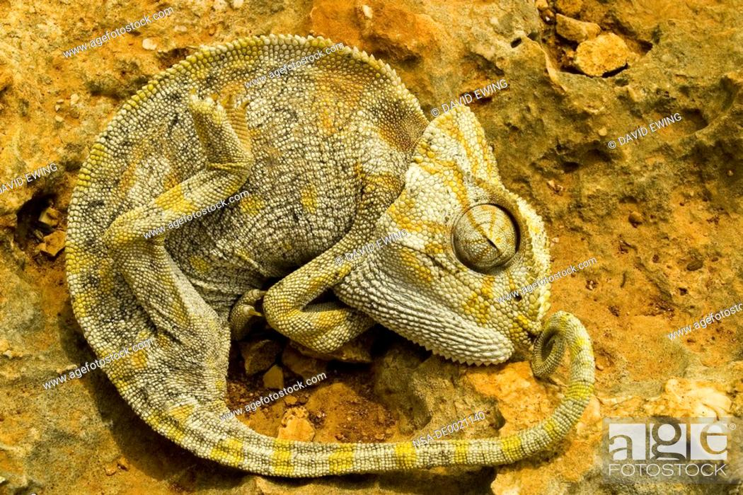 Stock Photo: A Chameleon lies on a stone.