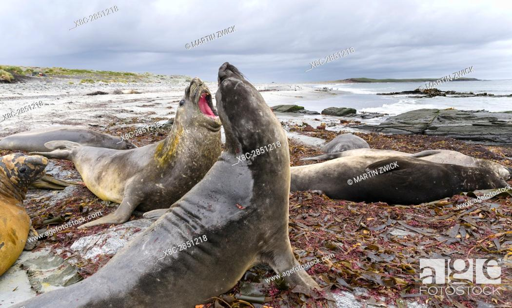 Imagen: Southern elephant seal (Mirounga leonina), male, after breeding period on the Falkland Islands, half grown bulls fighting for training and to establish pecking.