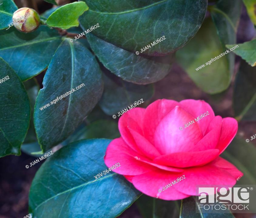 Stock Photo: Camellia japonica.