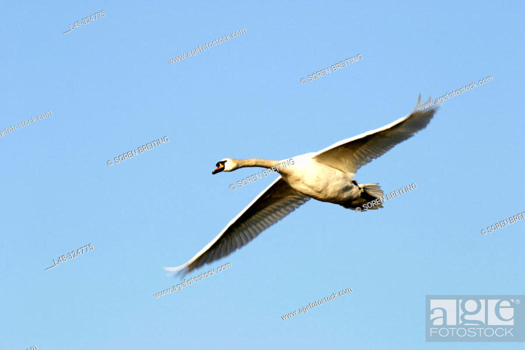 Stock Photo: Flying swan (mute swan, Cygnus olor) on a background of the blue sky.