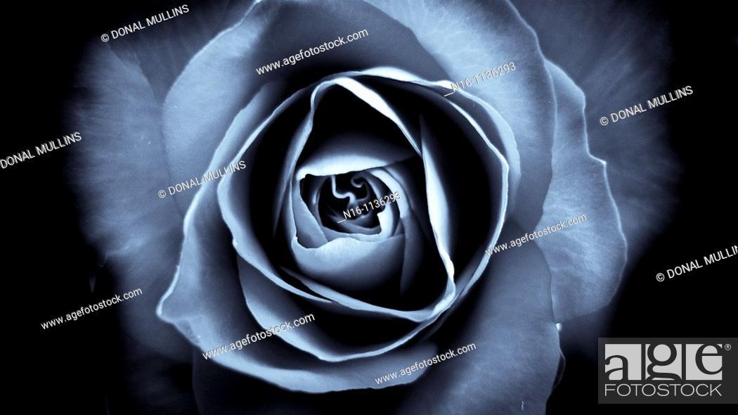 Stock Photo: Selenium Toned Rose.