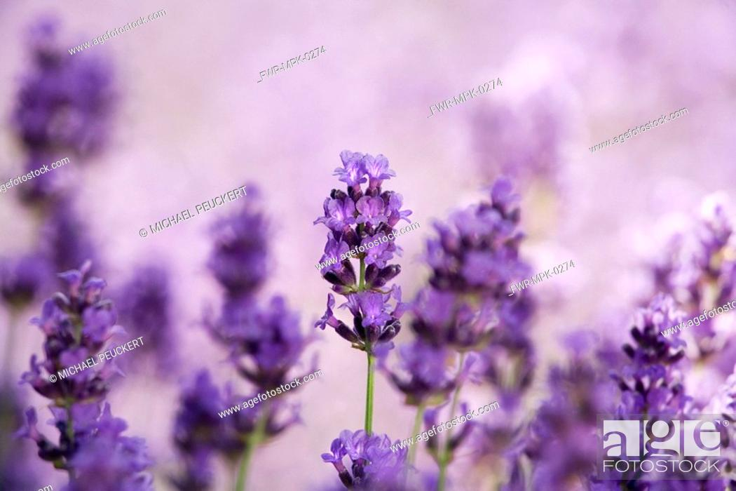 Stock Photo: Lavandula augustifolia, Lavender.