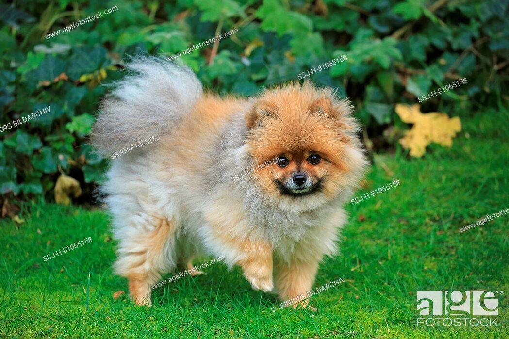 Imagen: Pomeranian. Adult dog walking on a meadow. Germany.