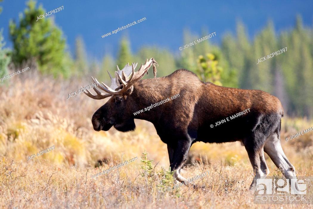 Stock Photo: Bull moose in the fall rut, Alberta, Canada.