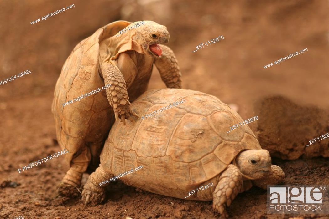 Stock Photo: Spur-thighed Tortoise or Greek Tortoise Testudo graeca Mating  Israel October 2009.