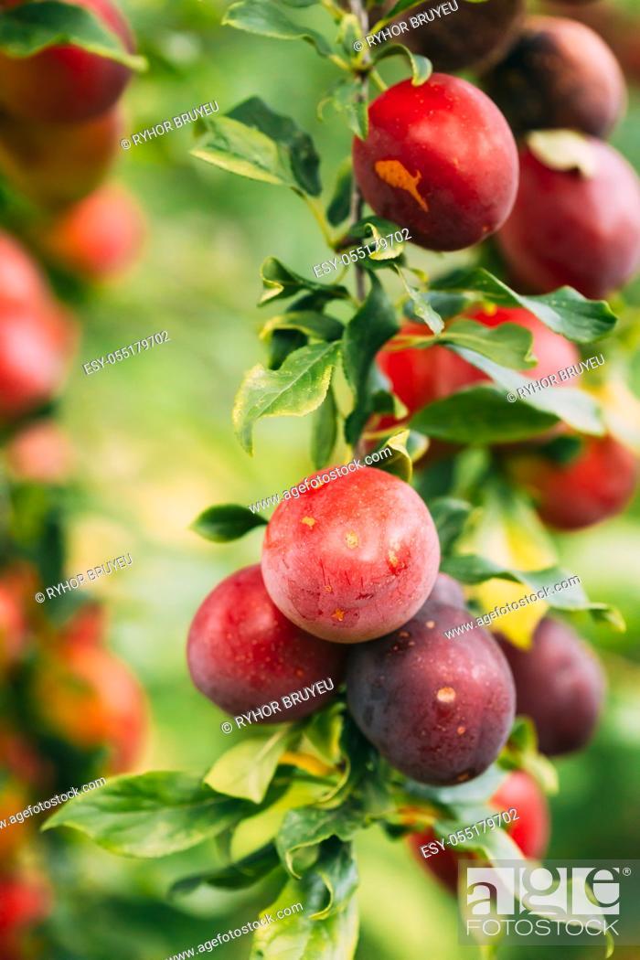 Stock Photo: Ripe Prunus berries on Prunus trees In Summer Vegetable Garden.