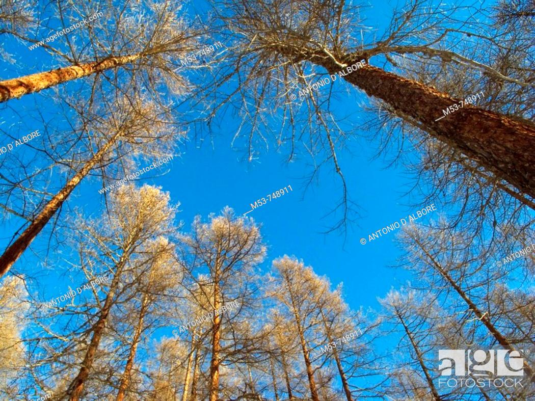 Stock Photo: Trees of european larch (Larix decidua) during winter, Valle d'Ayas, Ayas municipality, province of Aosta, Valle d'Aosta, Italy.