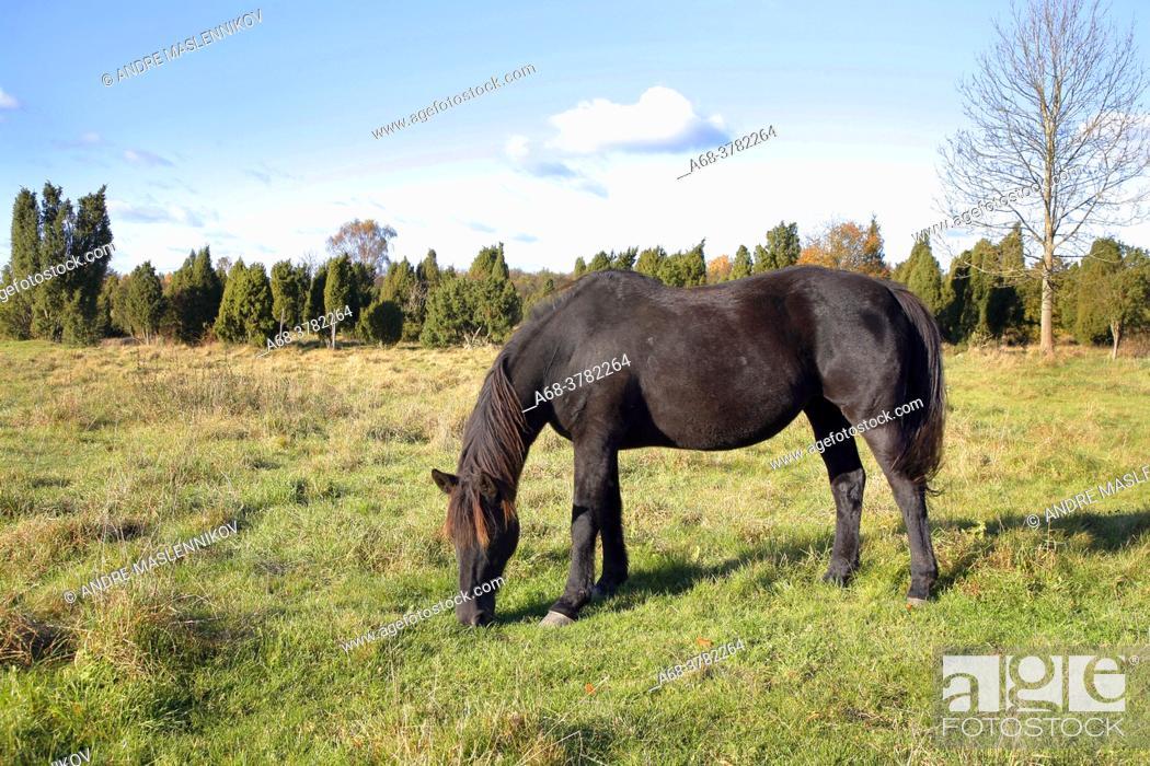 Stock Photo: Horse grazes on Munkarps pasture which became a nature reserve in 1973 in order to preserve an older grazing landscape. Skåne, Sweden.