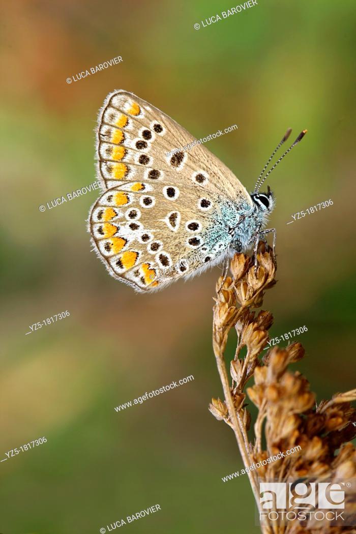 Stock Photo: Polyommatus icarus.