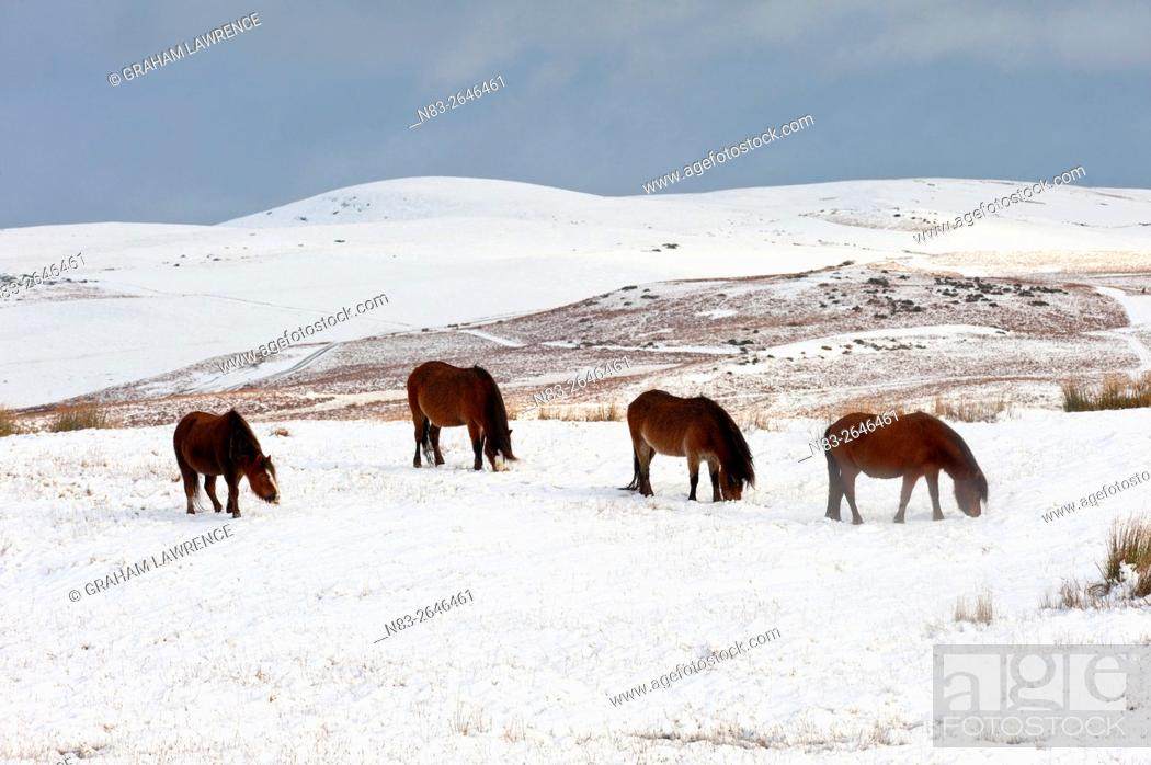 Stock Photo: Ponies forage for food in the snow on the Mynydd Epynt moorland, Powys, Wales, UK.