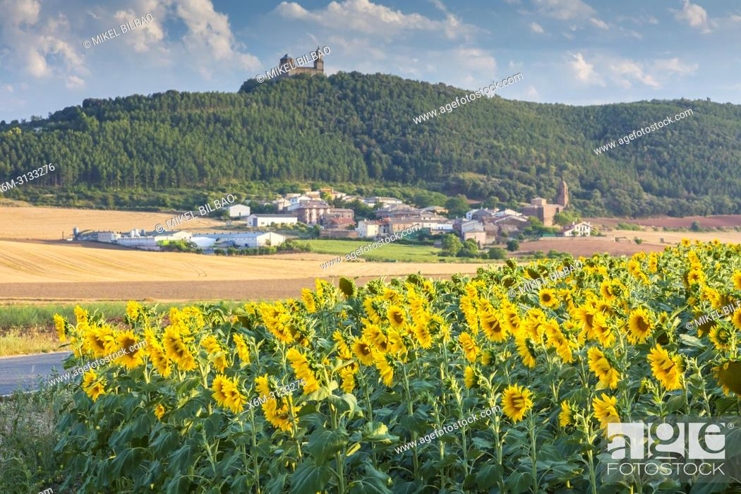 Stock Photo: Sunflowers crop, Sorlada village and San Gregorio monastry. Tierra Estella. Navarre, Spain, Europe.