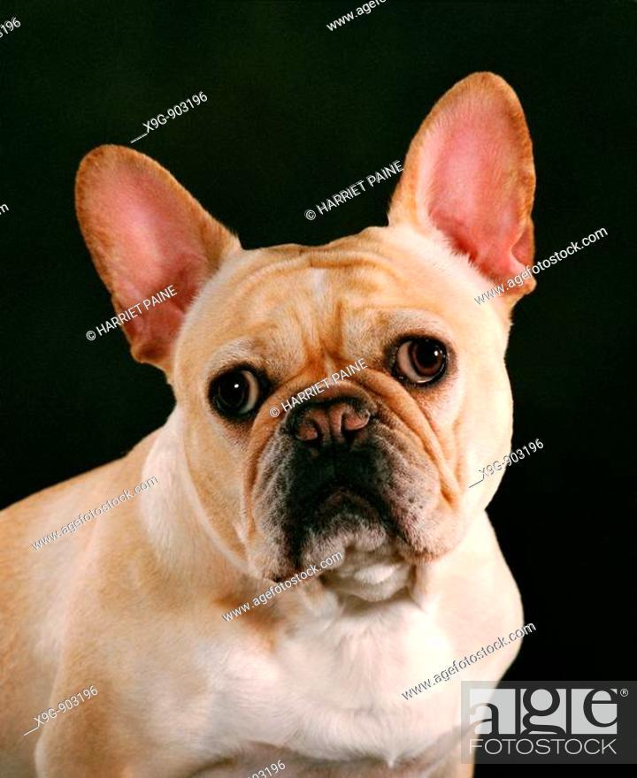 Stock Photo: French Bull dog.
