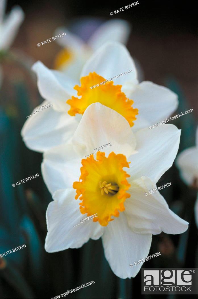Stock Photo: Narcissus.