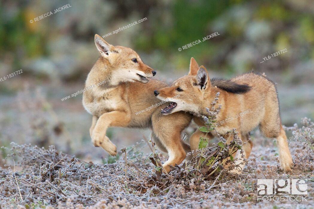 Stock Photo: Game of chase between Ethiopian wolf siblings.