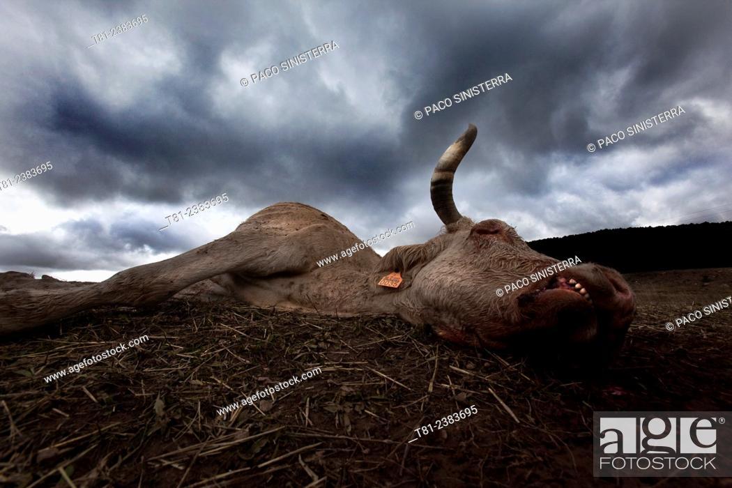 Stock Photo: Cow killed by raptors in Teruel, Spain.