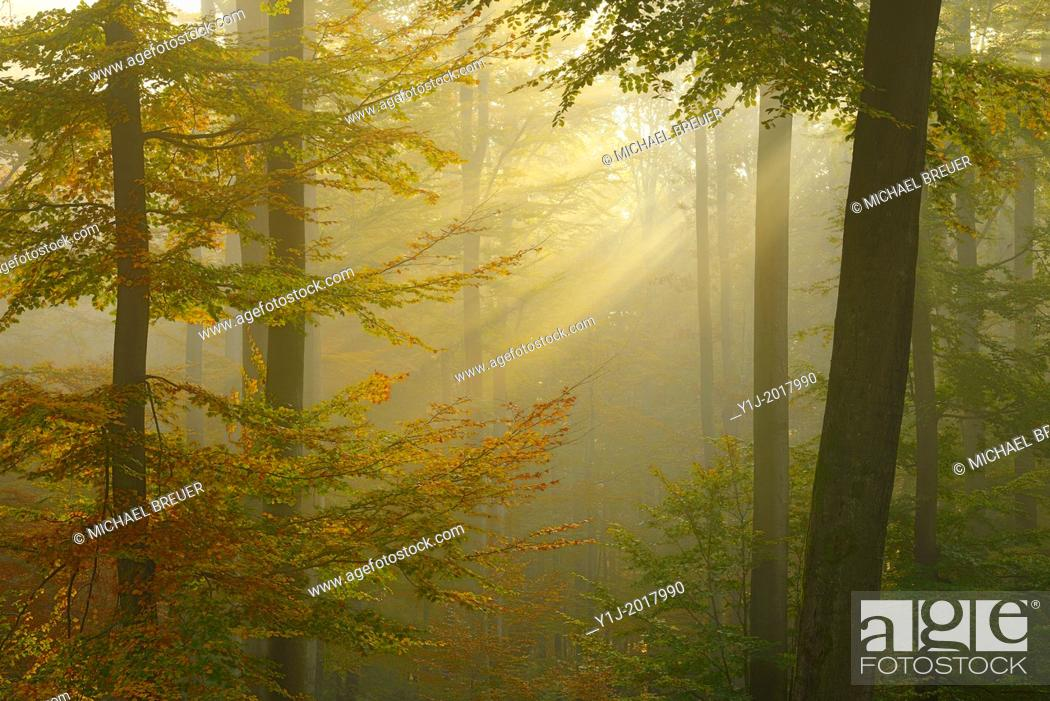 Stock Photo: Sunbeams in beech forest in autumn, Fagus sylvatica, Spessart, Bavaria, Germany, Europe.