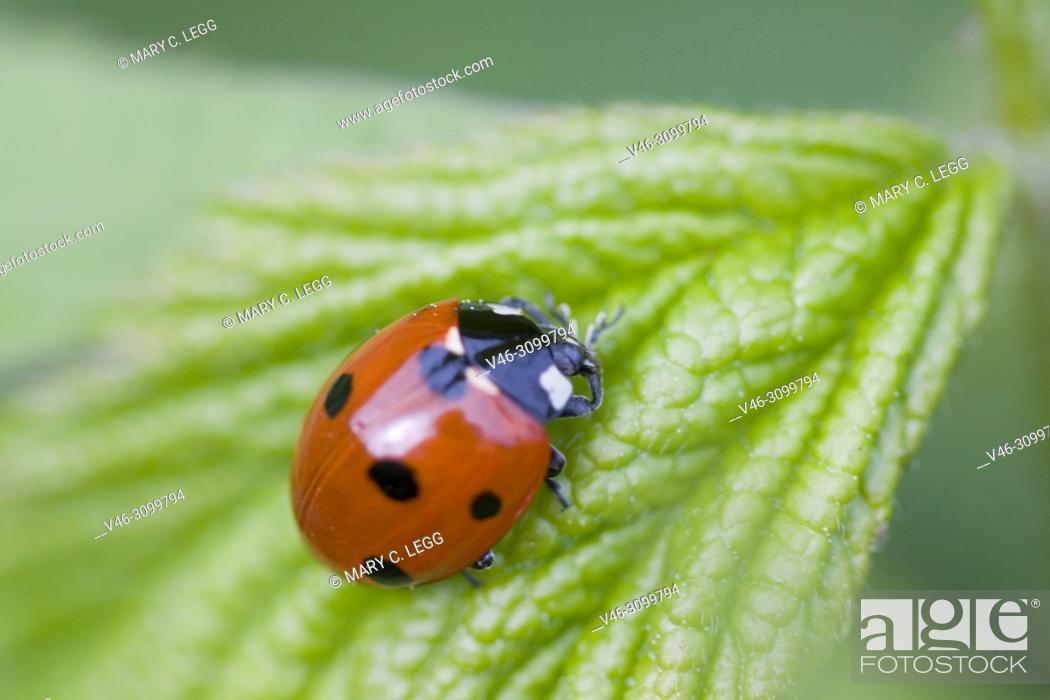 Stock Photo: Seven-spot ladybird, Coccinella septempunctata.