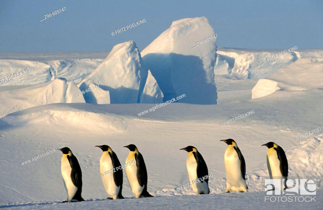 Stock Photo: Emperor penguin (Aptenodytes forsteri). Dawson-Lambton glacier, Antarctica, December.